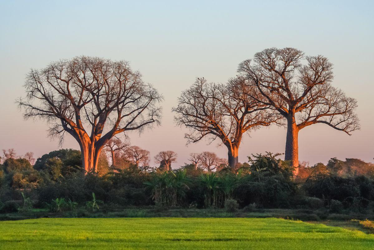 Africain-Baobab